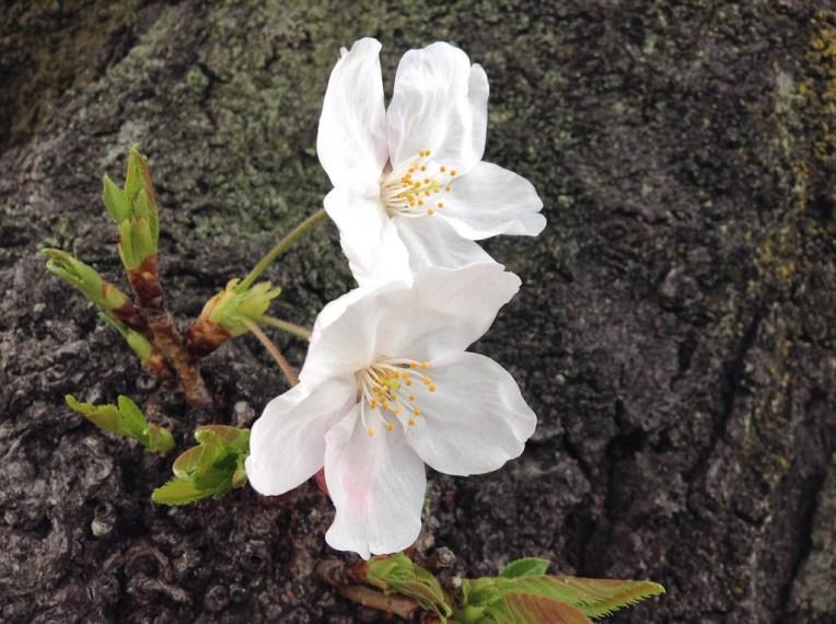 西宮駅北側にある公園の桜 2015