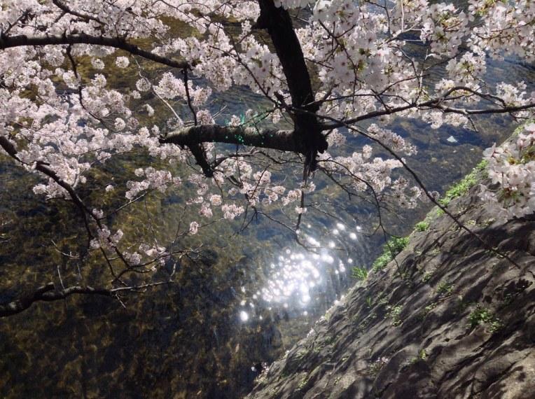 夙川の桜 2015